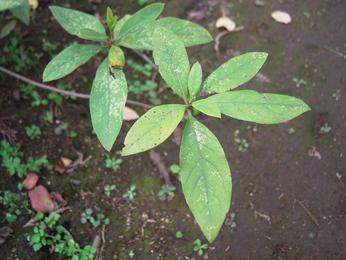 azalea--img04